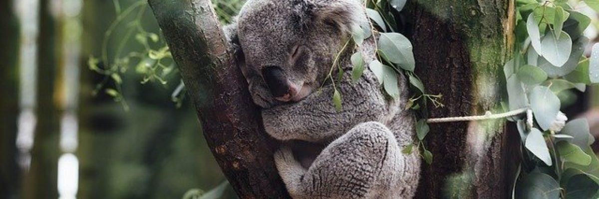 koala bär schlaf